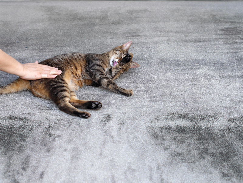 腰をトントンされているキジトラ猫3