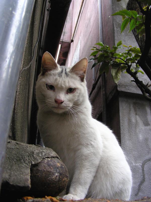 塀の上野白仔猫1