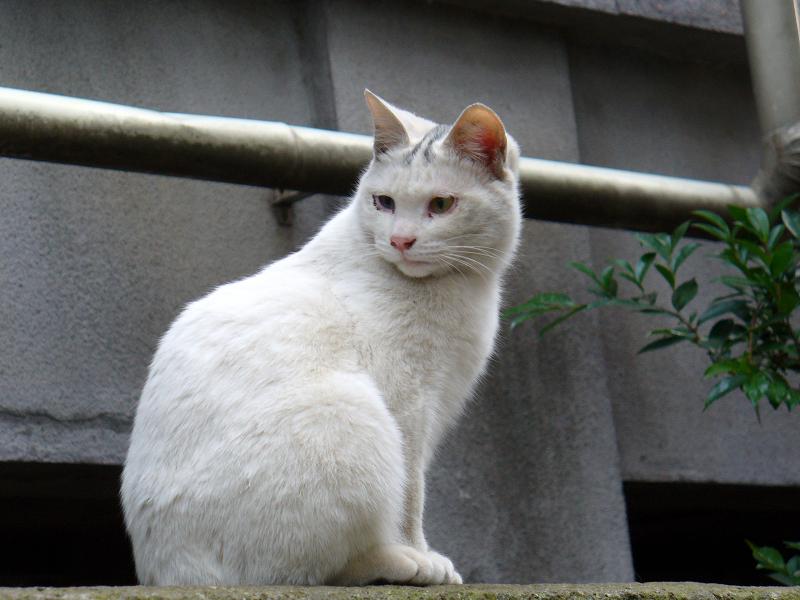 塀の上野白仔猫2
