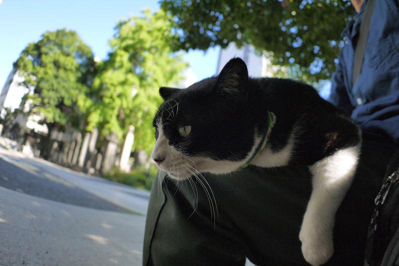 膝で垂れ始めた黒白猫1