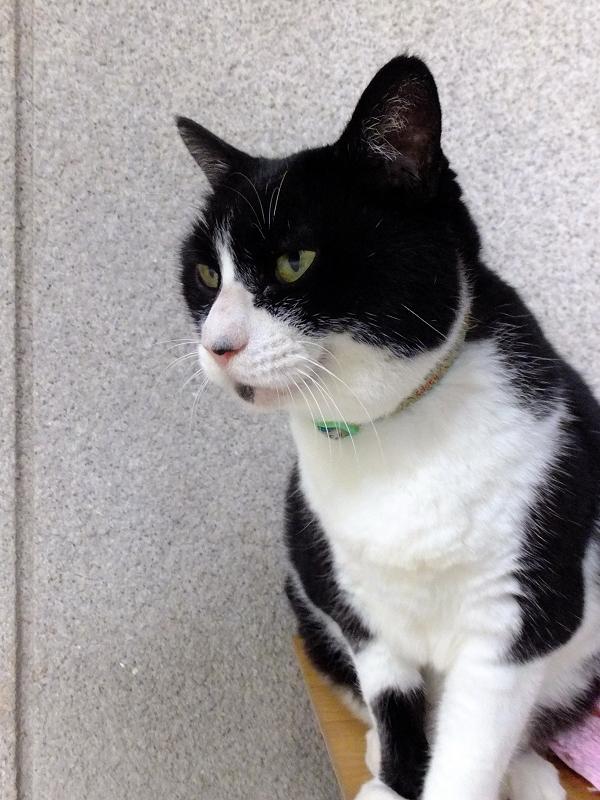 起きた黒白猫