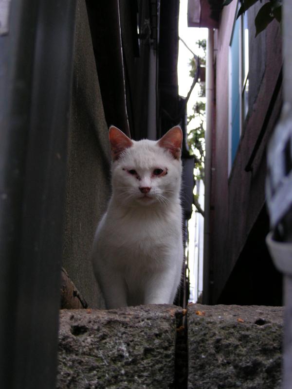 ブロック塀の大人顔の白猫1