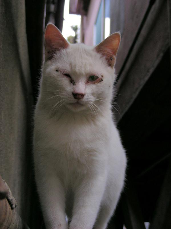 ブロック塀の大人顔の白猫2