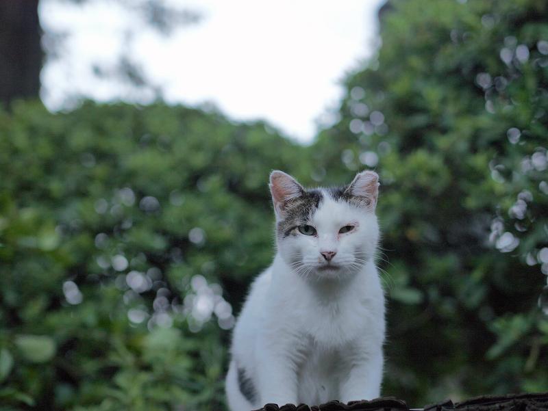 緑葉と白キジ猫1