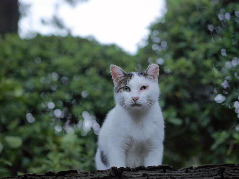 緑葉と白キジ猫2