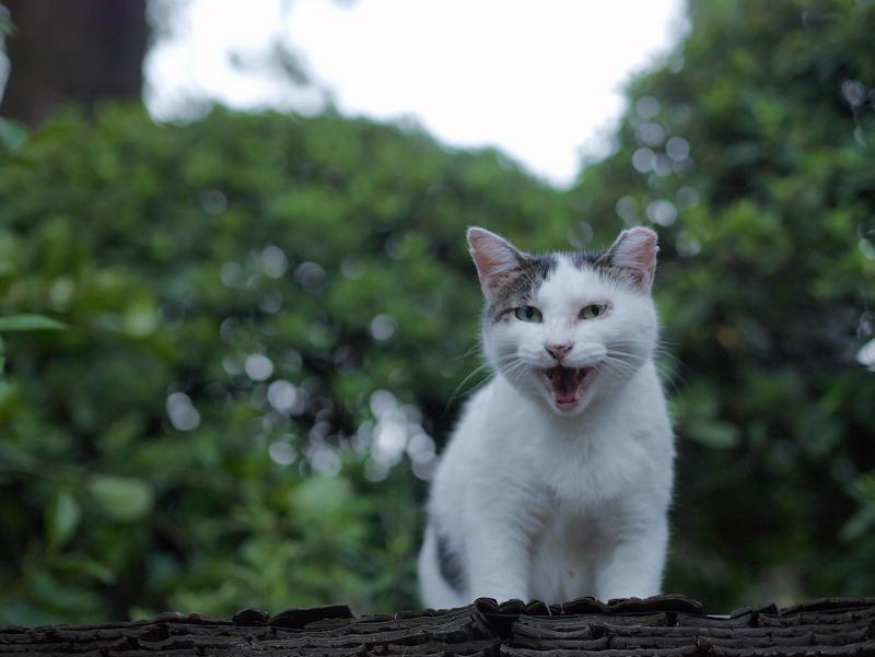 緑葉と白キジ猫3