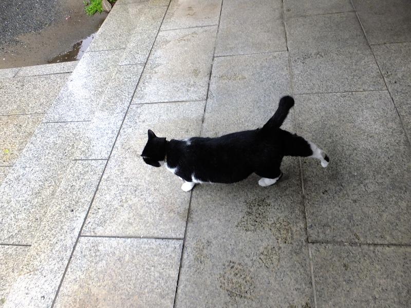 お堂前を歩く黒白猫1
