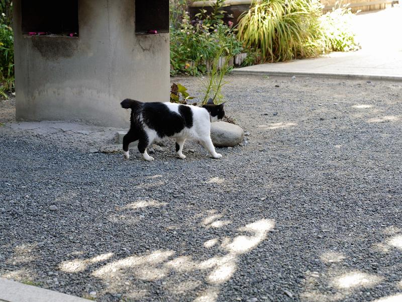 境内を歩く白黒猫1