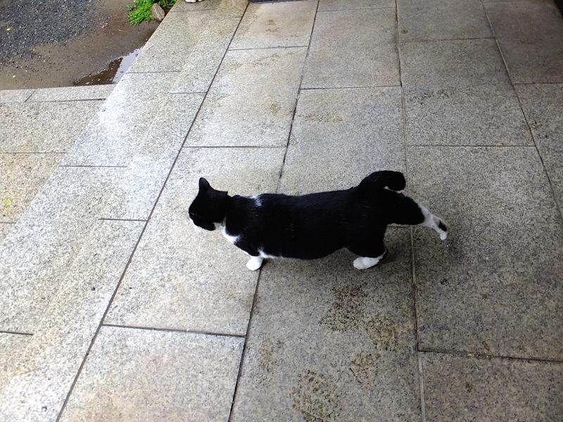 お堂前を歩く黒白猫2