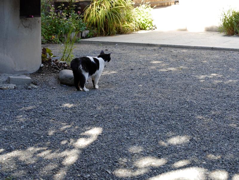 境内を歩く白黒猫2