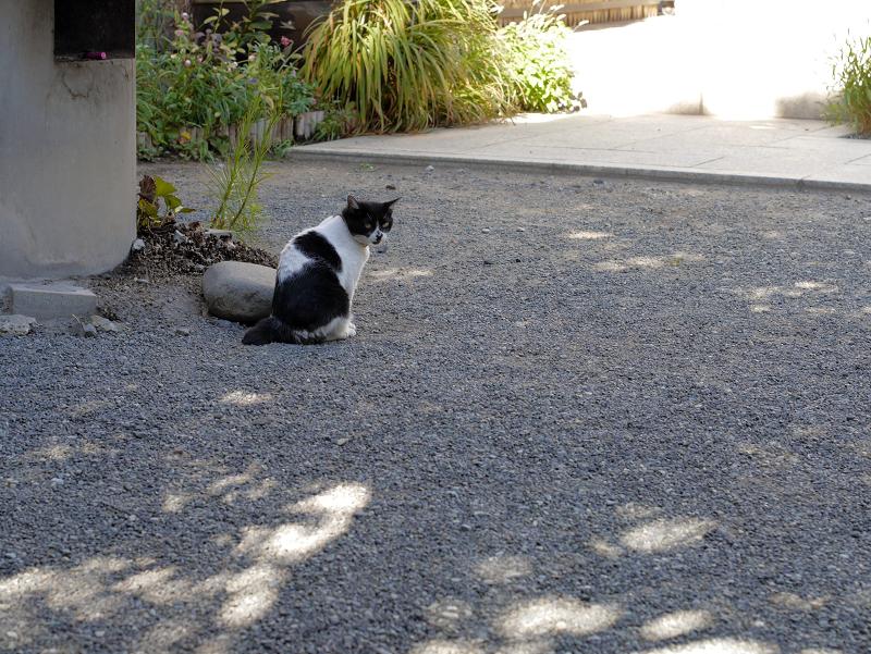 境内を歩く白黒猫3