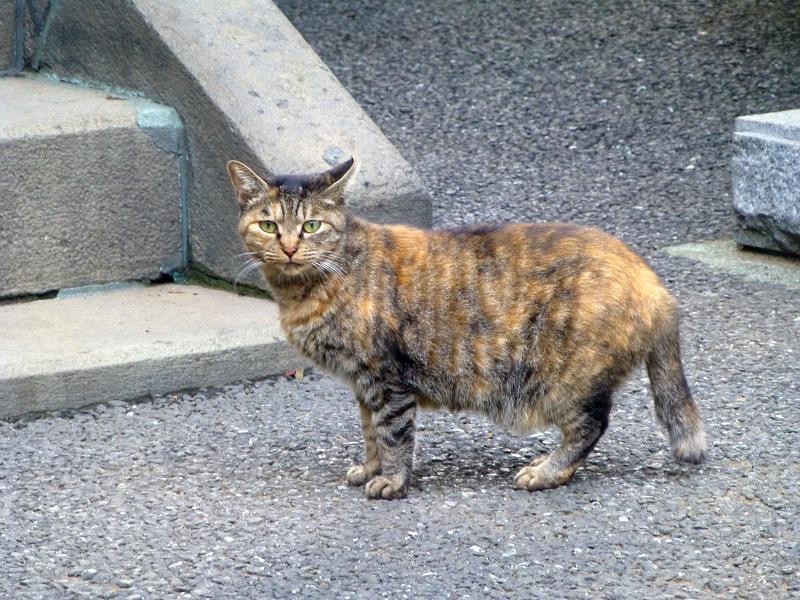 お堂前のサビ柄猫1