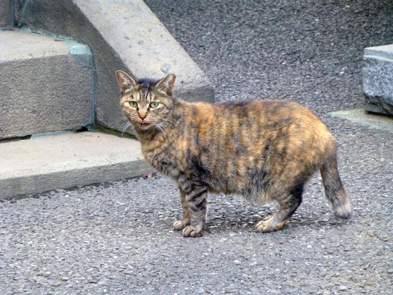 お堂前のサビ柄猫2