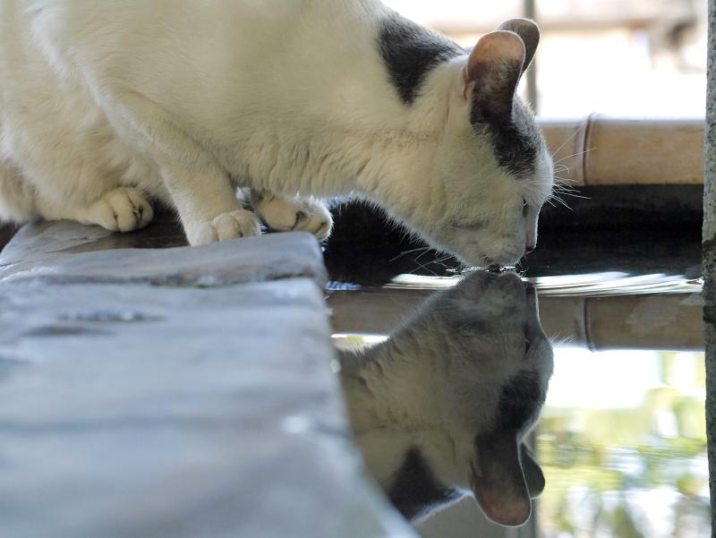 水を飲んでるグレー白猫の映り込み1