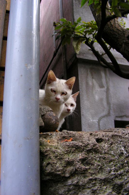実は3匹の白猫1
