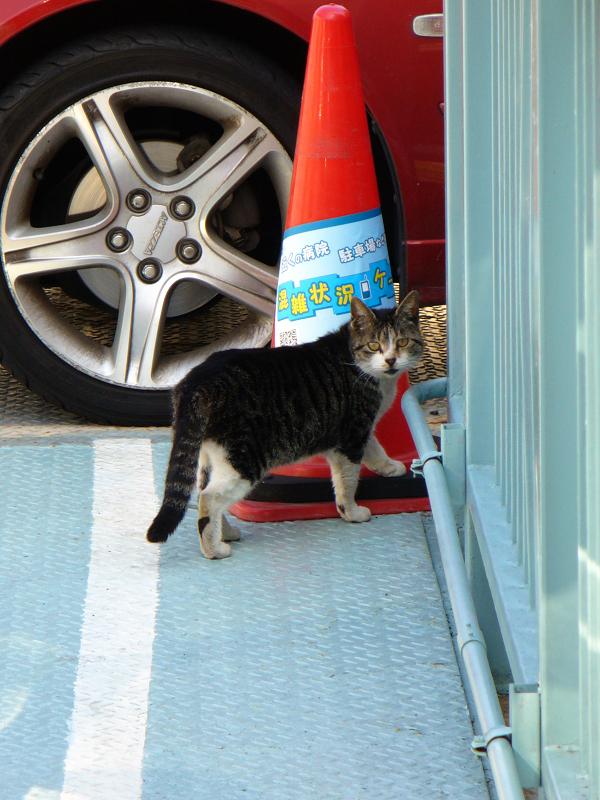 駐車場のキジ白猫1