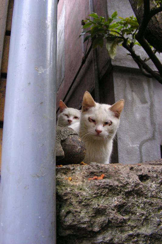 実は3匹の白猫2