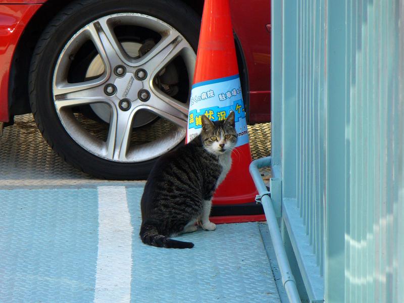 駐車場のキジ白猫2