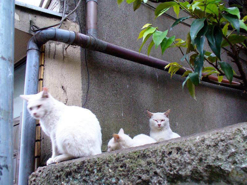 実は3匹の白猫3