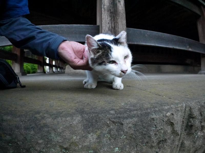 触られてる白キジ猫1