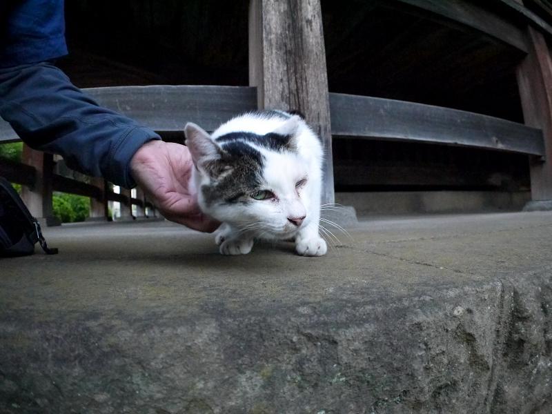 触られてる白キジ猫2