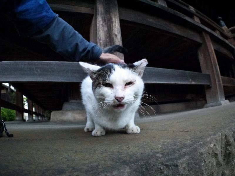 触られてる白キジ猫3