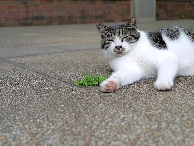 太ったキジ白猫1