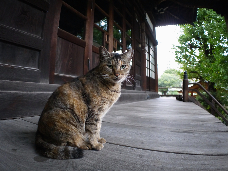 お堂濡れ縁のサビ柄猫