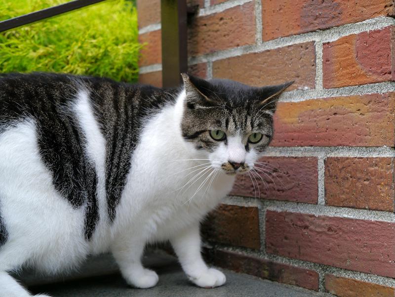 太ったキジ白猫2