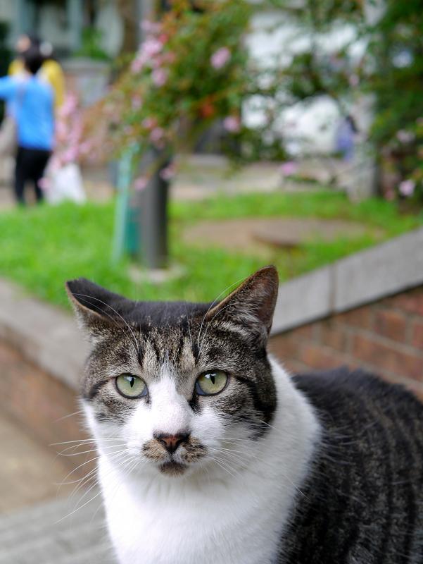 太ったキジ白猫3