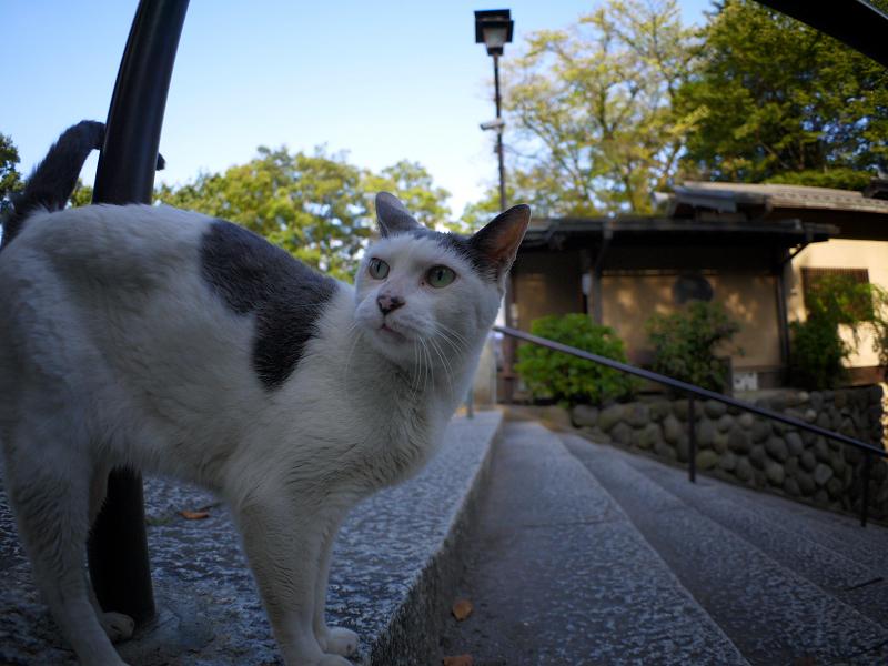 階段のグレー白猫1