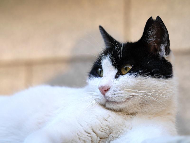 ローアングル白黒猫2