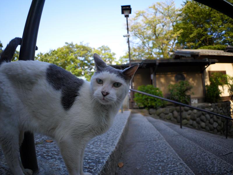 階段のグレー白猫2