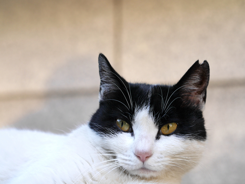 ローアングル白黒猫3