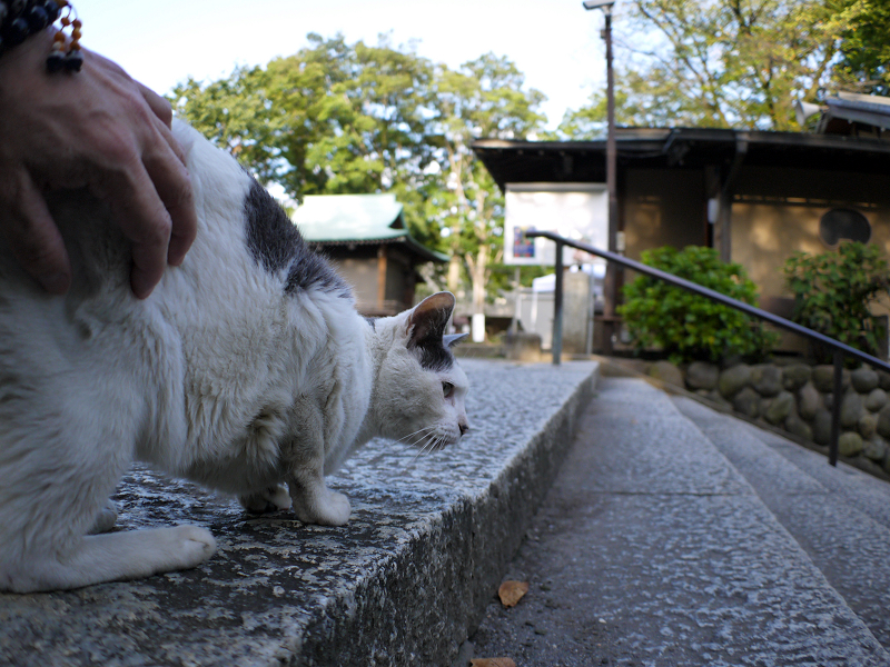 階段のグレー白猫3