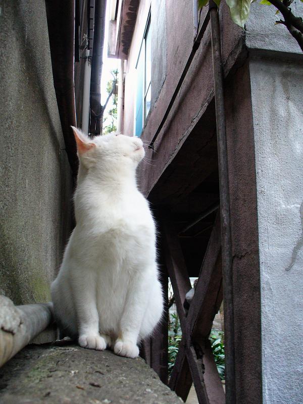 ブロック塀と白い猫1