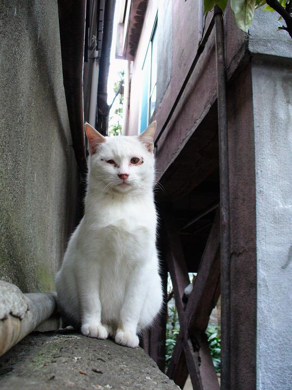 ブロック塀と白い猫2