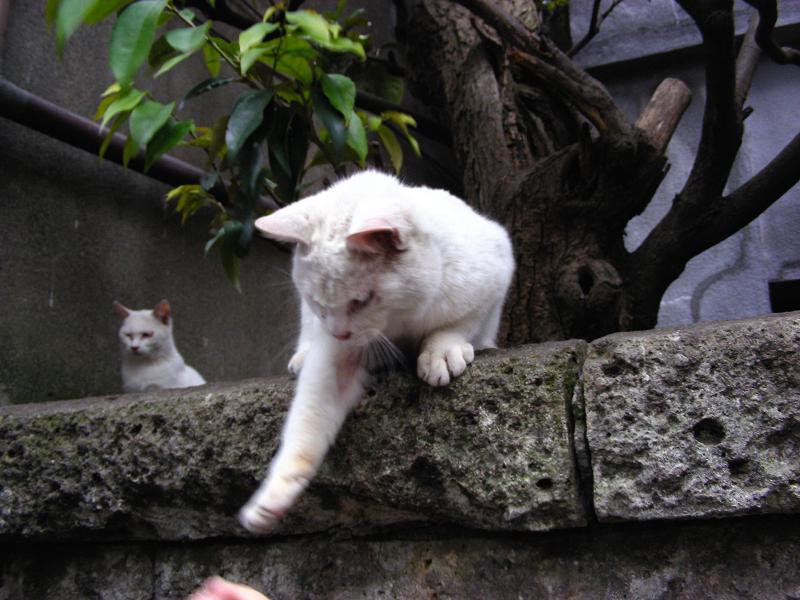 ブロック塀と白い猫3