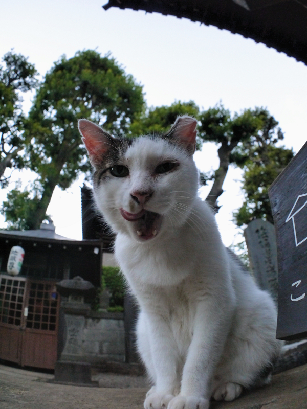 ベロを出す白キジ猫1