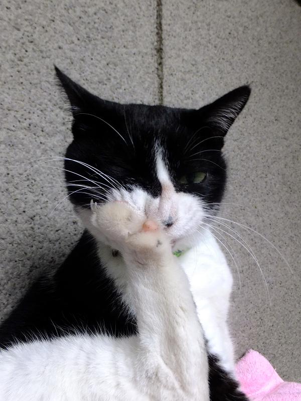 足の裏を舐める黒白猫3