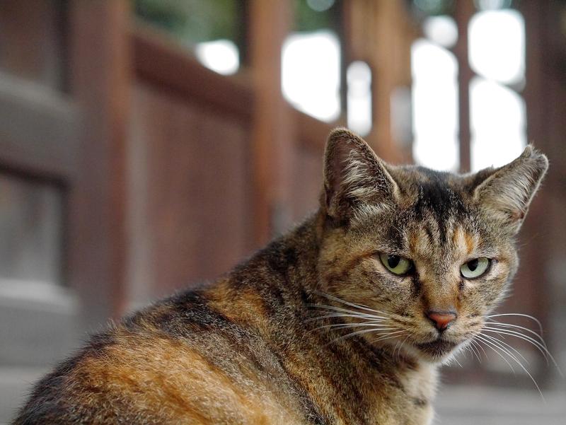ベロを動かすサビ柄猫1