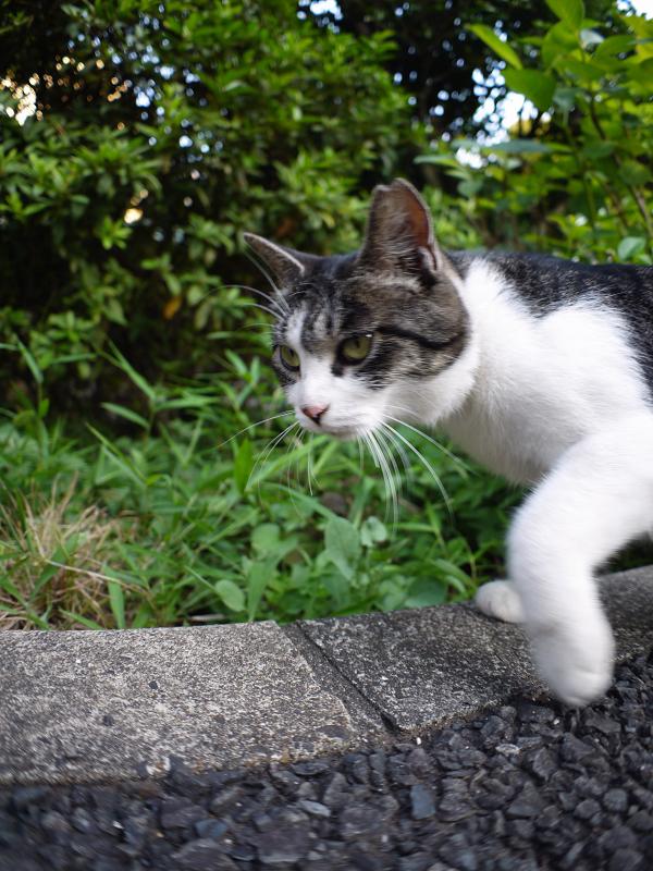 神社のキジ白の猫1