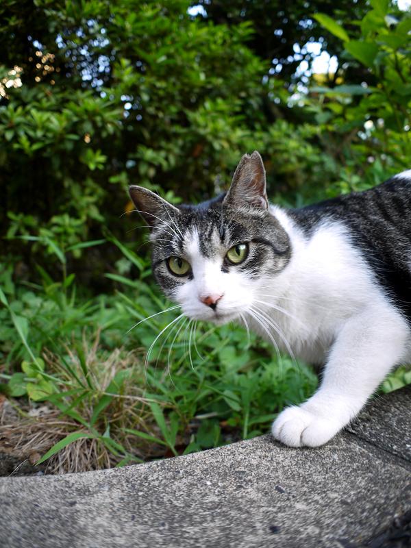 神社のキジ白の猫2