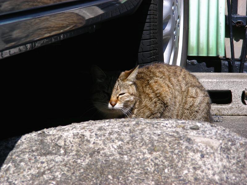 車の横のキジトラ猫2
