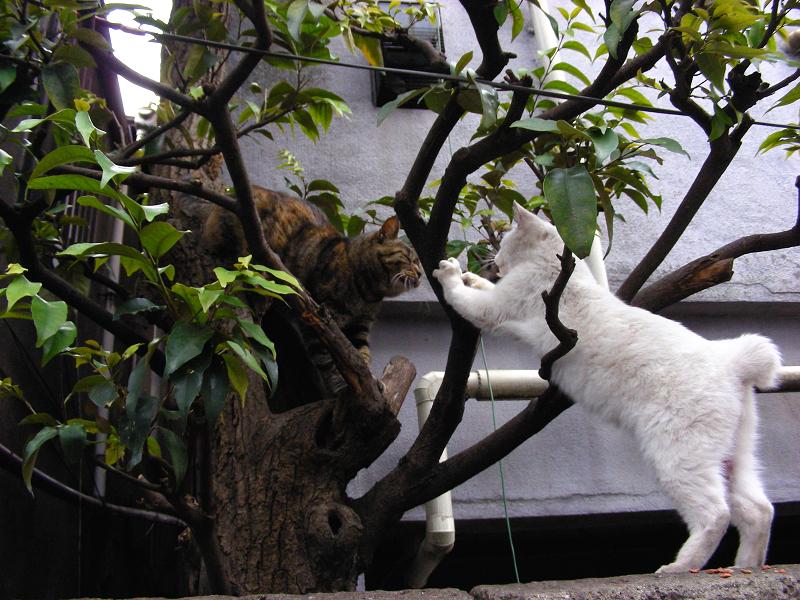 白猫とキジトラ猫3