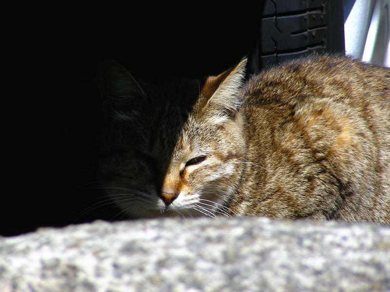 車の横のキジトラ猫3