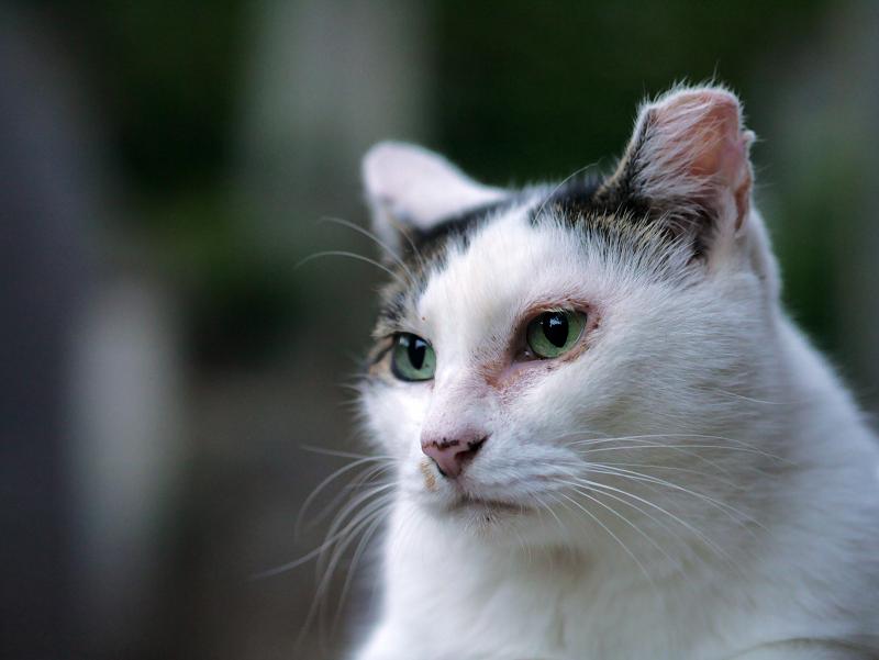 青い瞳の白キジ猫1