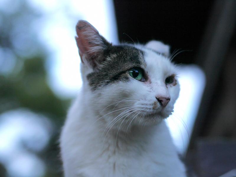 青い瞳の白キジ猫2