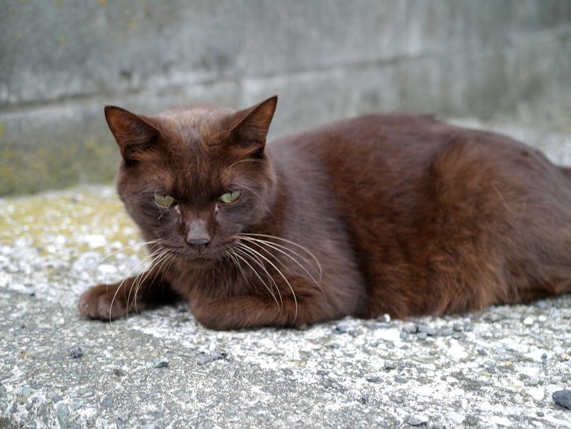 焦げ茶色猫1