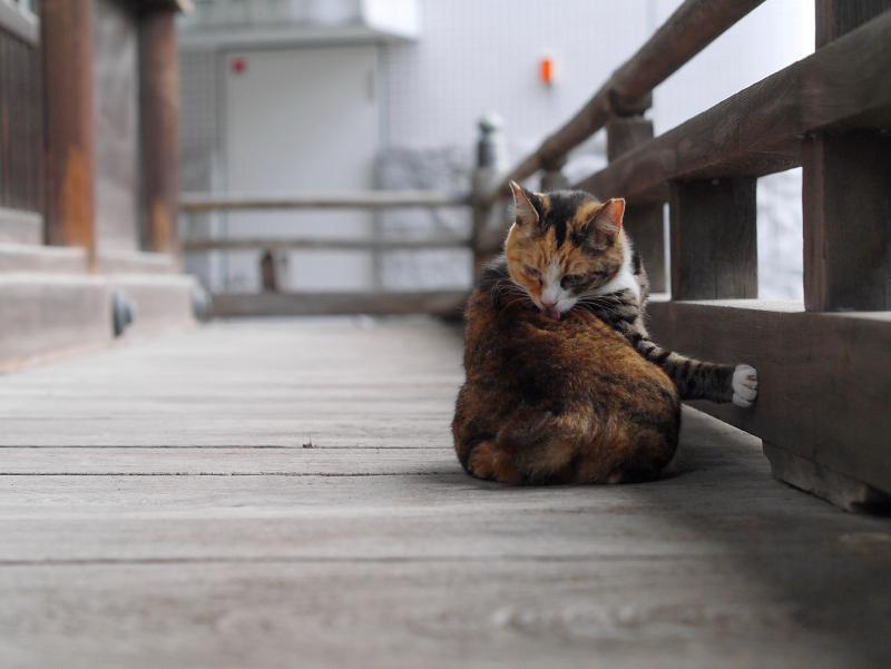 濡れ縁で毛づくろいしてる猫1